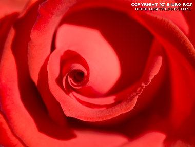 20080918191206-2397-2007-0014-roses.jpg
